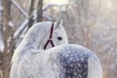 Orlov Trotter Stallion