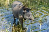 stock photo of lowlands  - Lowland or South American tapir  - JPG