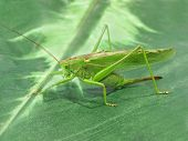 picture of locust  - The pfoto of Locust taken closeup on green - JPG