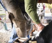 Farrier Clipping Horse Hoof