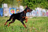 Black doberman running