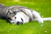 picture of malamute  - Alaskan Malamute lying on the green grass - JPG