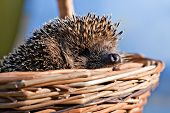 Hedgehog In Basket
