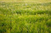 Grain-field