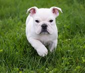 english bulldog running in the grass - 8 weeks old