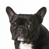 french bulldog portrait - one year old male