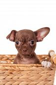 Chocolate Chihuahua puppy on white