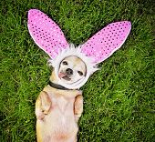 image of applehead  - a cute chihuahua laying in the grass with his tongue out and bunny ears on - JPG