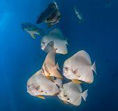 Shoal of batfish