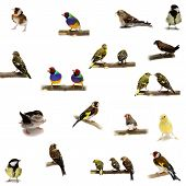 picture of goldfinches  - Group of small birds isolated on the white background - JPG