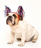 Bulldog dressed in streamer hat