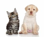 image of coon dog  - Maine Coon kitten and Labrador puppy - JPG