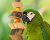 stock photo of green-winged macaw  - macaw sitting on branch on green background - JPG