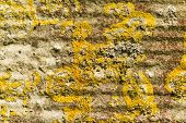 picture of lichenes  - Xanthoria parietina Yellow scale common orange maritime sunburst or shore lichen - JPG
