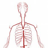 foto of blood vessels  - are blood vessels that carry blood away from the heart - JPG