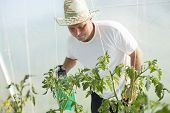 Farmer care about tomatos plants in greenhouse