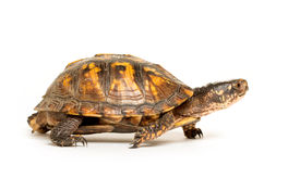 picture of terrapin turtle  - Eastern box turtle sitting on white background - JPG