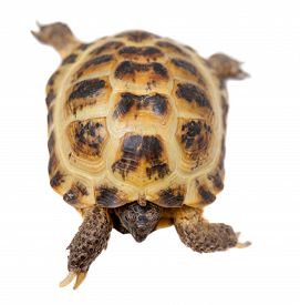 stock photo of russian tortoise  - Russian or Central Asian tortoise - JPG