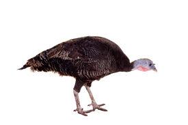 picture of turkey-hen  - Turkey hen isolated on the white background - JPG