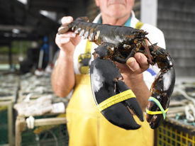 image of elastrator  - Man holding lobster with bound claws - JPG