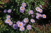 Bush of the daisywheel lilac