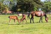 pic of colt  - Horse mare and foal colt on stud farm field - JPG