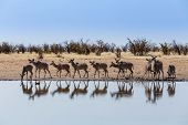 Herd Of Kudu Drinking From Waterhole