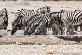 Zebra Drinking On Waterhole