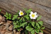 Anemone in the wood