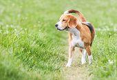 Venturous Beagle At The Walk