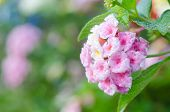 stock photo of lantana  - Pink lantana camara flowers blooming in garden