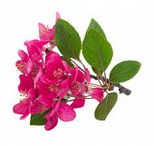 Blossoming pink tree Flowers
