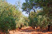 Olives Ripening In The Hot Summer Mediterranean Sun