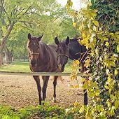 Beautiful Pair Of Horses On The Farm Ranch