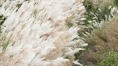 Wind blowing in the reed in a cloudy day.