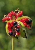 Wild Peony Seed Pods