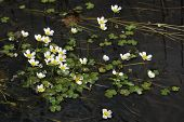 Common Water Crowfoot