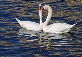 White swans. Cygnys.
