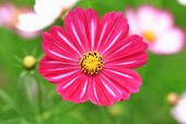 stock photo of cosmos flowers  - Cosmos flower - JPG
