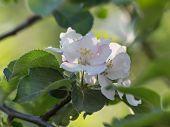 Apple's  bloom