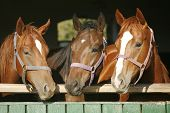 pic of horse-breeding  - Beautiful thoroughbred horses at the barn door - JPG
