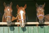 Warm Blood Purebred Mares Looking Over The Barn Door