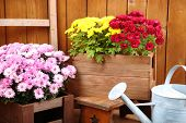 Chrysanthemum bushes in wooden boxes on wooden wall background