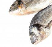Fresh dorado fish isolated on white