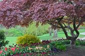 picture of maple tree  - Colorful spring tulip garden and japanese maple tree - JPG