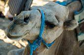 Camel Closeup, Dromedary