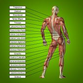 pic of male body anatomy  - Concept or conceptual 3D male or human anatomy - JPG