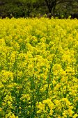 stock photo of rape-seed  - A field of yellow rape seed  - JPG