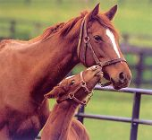 image of fillies  - horses adult mare foal colt filly animals farm brown together tenderness