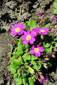pic of primrose  - Purple primrose flowers in the flower bed - JPG
